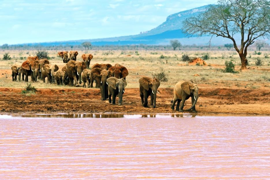 bigstock-elephants-tsavo-east-103249526_935
