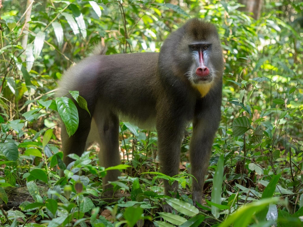 bigstock-mandrill-close-up-portrait-ma-260726080_1000