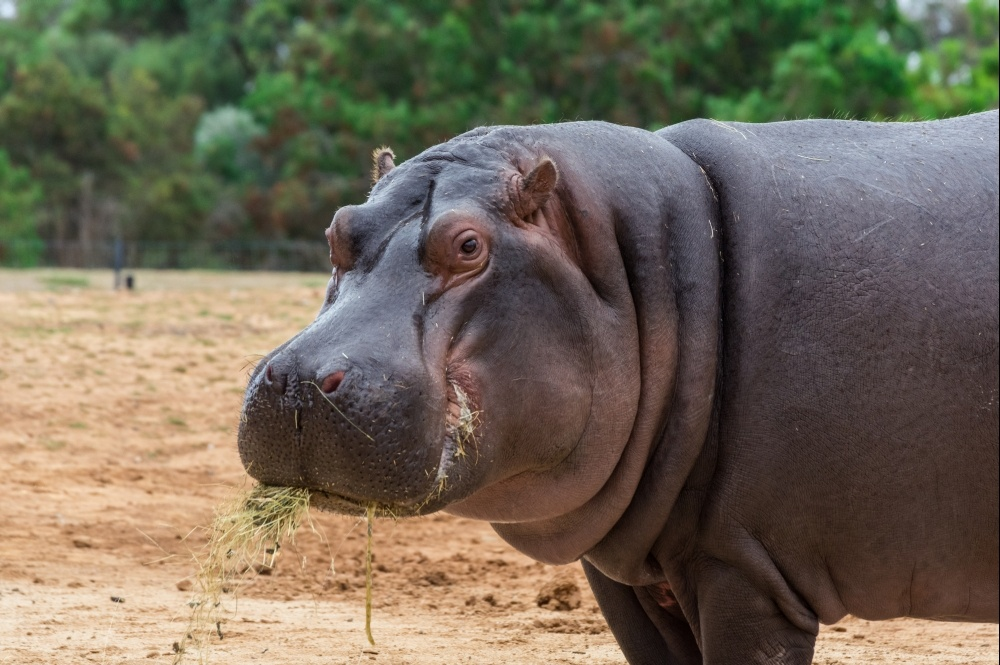bigstock-the-common-hippopotamus-hippo-253660270_1000