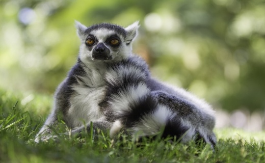 my_lemur_na_africk_safari_520